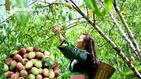 Đào Mông chín rộ ở miền Tây Nghệ An