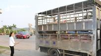 Nỗ lực phòng chống dịch tả lợn châu Phi ở thành Vinh