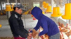 Dịch cúm H5N6 bùng phát, một xã ở Nghệ An tiêu hủy hàng nghìn con gà