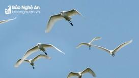 Mùa cò trắng di trú về ven bờ Lam giang