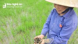 Ốc bươu vàng tràn ngập trên nhiều cánh đồng lúa xuân ở Nghệ An