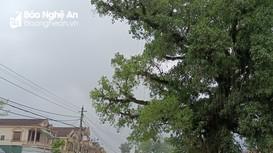 Nỗi lo dưới tán cây cổ thụ ở Nghệ An