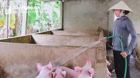 Nghệ An: Giá lợn hơi chạm đáy, nông dân ngại tái đàn