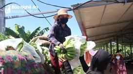 Chuối tiêu hồng xuất khẩu ế ẩm, phải vứt bỏ, ủ làm phân vi sinh