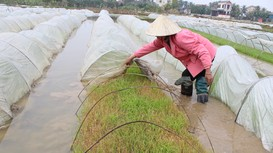 Nhiều diện tích mạ ở Nghệ An bị chết do rét đậm