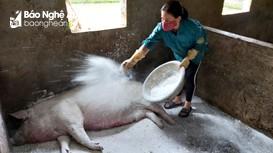 Hàng nghìn hộ nông dân Nghệ An trắng tay vì dịch tả lợn châu Phi