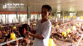 Nghệ An: Giá gà thịt tăng cao nhất từ đầu năm đến nay