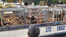 Nghệ An: Phát hiện 17 con hổ nuôi nhốt trái phép trong nhà dân