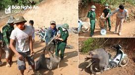 Tiêu hủy lợn mắc dịch tả châu Phi ở huyện rẻo cao Nghệ An