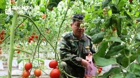 Nghệ An: Ngỡ ngàng hàng ngàn gốc cà chua thu hoạch mãi không hết