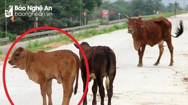 Trâu, bò nhiễm bệnh viêm da nổi cục thả rông khắp nơi