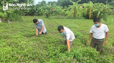 Nông dân Nghệ An trồng húng quế chiết tinh dầu xuất khẩu