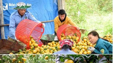 Nghệ An đặt mục tiêu có 50.000 ha cây ăn quả, xuất khẩu đạt 80 - 100 triệu USD vào năm 2030