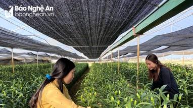 Sợ 'tắc' đầu ra, nông dân Nghệ An giảm diện tích hoa Tết
