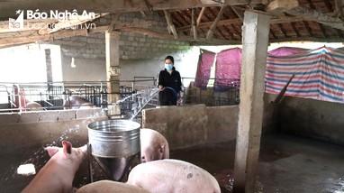 Nghệ An: Giá lợn hơi bật tăng, giá thịt cũng 'đảo chiều'