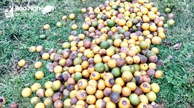 Đi tìm nguyên nhân cam Nghệ An rụng quả hàng loạt