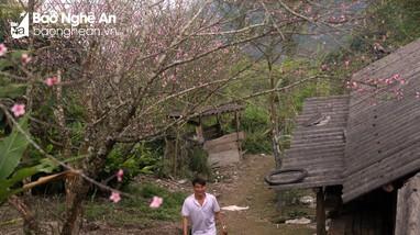 Đào cổ thụ bung nở đón Tết trên bản làng người Mông Nghệ An