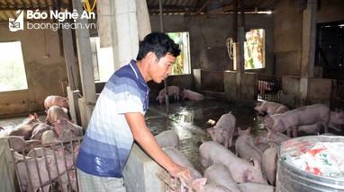 Nghệ An: Giá lợn hơi giảm sâu, chỉ còn dưới 70.000đồng/kg
