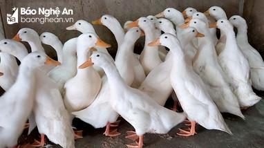 Nghệ An: Vịt thịt giữ giá trong ngày Tết Đoan Ngọ