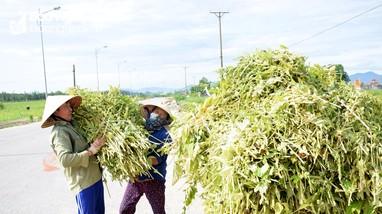 Nông dân Nghệ An thu hàng chục triệu đồng/ha từ cây vừng