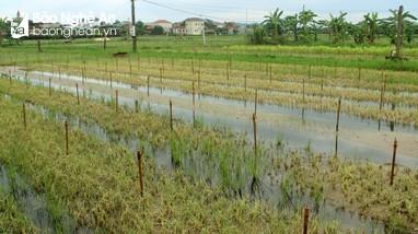 Nghệ An: Hàng nghìn ha rau màu mất trắng do ngập lụt