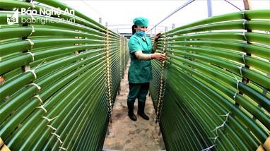 Tảo xoắn Spirulina - Sản phẩm nông nghiệp sạch công nghệ cao trên đất Quỳnh Lưu