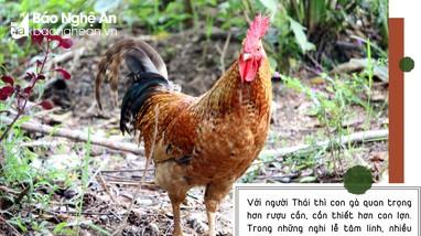 Quan niệm tâm linh về gà cúng của đồng bào vùng cao Nghệ An
