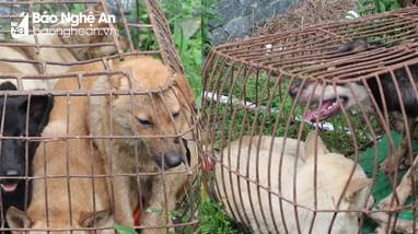 Băng nhóm trộm chó chuyên nghiệp gây náo loạn vùng quê Đô Lương, Nam Đàn