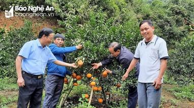 Anh Sơn bảo tồn và phát triển giống cam bù sen đặc sản