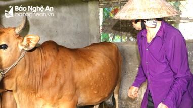 TP Vinh công bố dịch viêm da nổi u cục trâu bò ở xã Nghi Liên