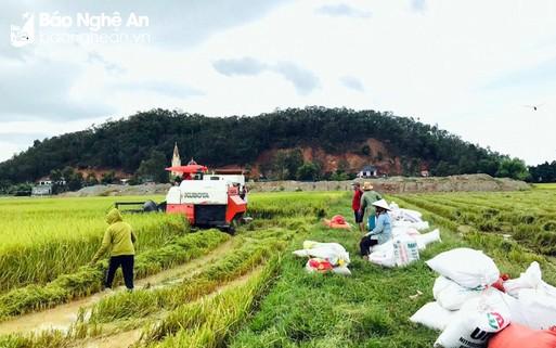 Nghệ An: Huy động tổng lực, khẩn trương thu hoạch lúa hè thu chạy bão