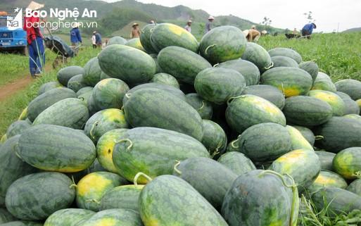 Nghệ An: Nhiều loại nông sản rớt giá, khó tiêu thụ