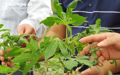 180 ha sắn ở Quỳ Châu bị mắc bệnh khảm lá phải nhổ bỏ