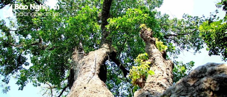 Trên cây có rất nhiều loài phong lan sinh sống. Ảnh: Hùng Cường
