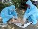 Bùng phát thêm nhiều điểm dịch tả lợn châu Phi tại Diễn Châu và Nghi Lộc