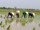 Nghệ An: Gần 26 nghìn ha lúa xuân gieo cấy trước lịch thời vụ