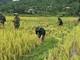 Bộ đội biên phòng giúp gia đình neo đơn thu hoạch lúa