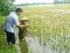 Vì sao gần 3.000 ha lúa hè thu ở Nghệ An mất trắng?