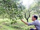 Áp dụng kỹ thuật quản lý dịch hại trên vùng trồng cam Nghệ An