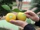 Nghệ An: Hơn 1 triệu quả cam Vinh được dán tem truy xuất nguồn gốc