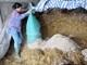 """Nông dân miền núi Nghệ An chuẩn bị """"lương khô"""" cho bò phòng thời tiết rét đậm"""