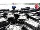 Ngư dân Hoàng Mai trúng đậm cá trích trong chuyển biển đầu năm mới