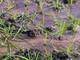 Ốc bươu vàng phá hoại lúa xuân trên diện rộng ở Quỳnh Lưu