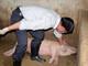 Lợn chết bệnh tại xã Nghĩa Đồng (Tân Kỳ) âm tính dịch tả lợn châu Phi