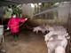 """Phòng dịch tả lợn châu Phi: Người """"không phận sự"""" cấm vào khu vực chăn nuôi"""