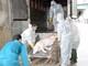 Xuất hiện ổ dịch tả lợn châu Phi đầu tiên trên địa bàn Yên Thành