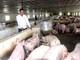 Nghệ An: Không có khả năng cấp đông thịt lợn sạch như chỉ đạo của Bộ Nông nghiệp