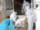 Thêm 5 xã ở Nghệ An phát hiện dịch tả lợn châu Phi