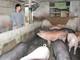 Nghệ An: Giá lợn hơi tăng mạnh, nhiều trang trại chăn nuôi găm hàng