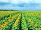 Cánh đồng hoa hướng dương Nghệ An đang vào những ngày đẹp nhất